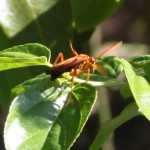 Orange wasp on flowering shrub