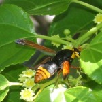 Black and orange wasp on flowering shrub