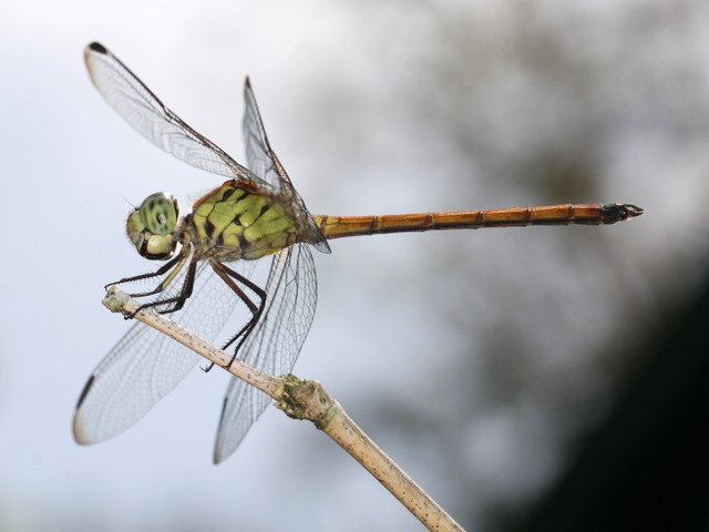 Australasian Slimwing dragonfly, male
