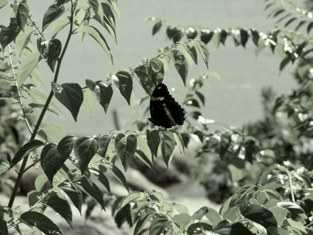 Eggfly perching in foliage