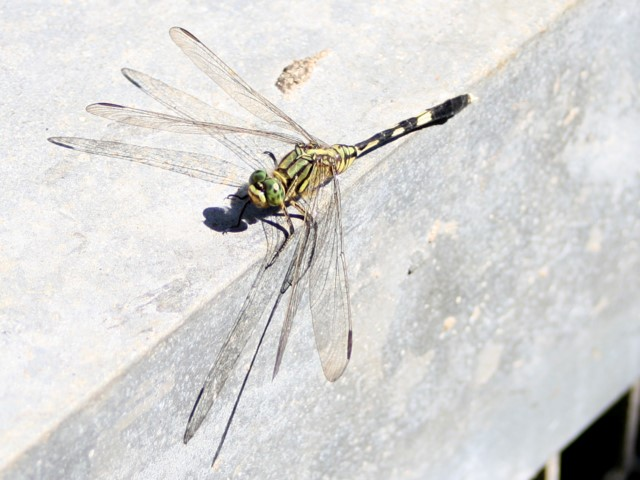 Eight-winged dragonfly on metal railing