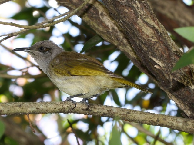 Brown Honeyeater in bottlebrush tree