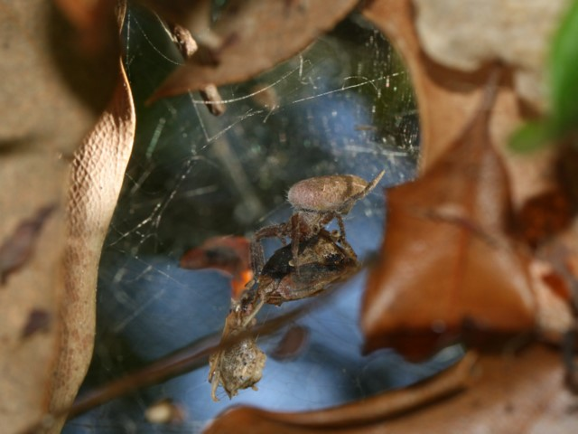 Spider and prey amongst dead leaves