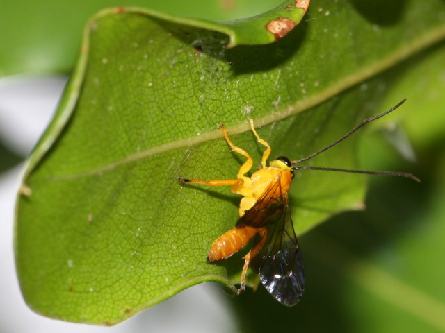 Orange wasp on macadamia leaf