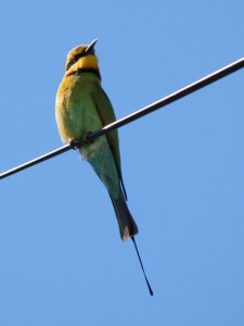 Rainbow Bee-eater perched on power line