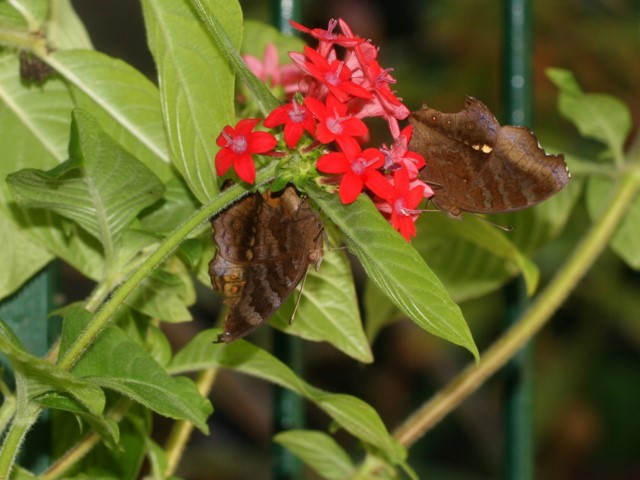 Two butterflies on Pentas flowers