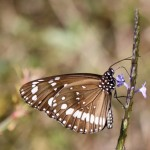 Common Crow butterfly on snakeweed