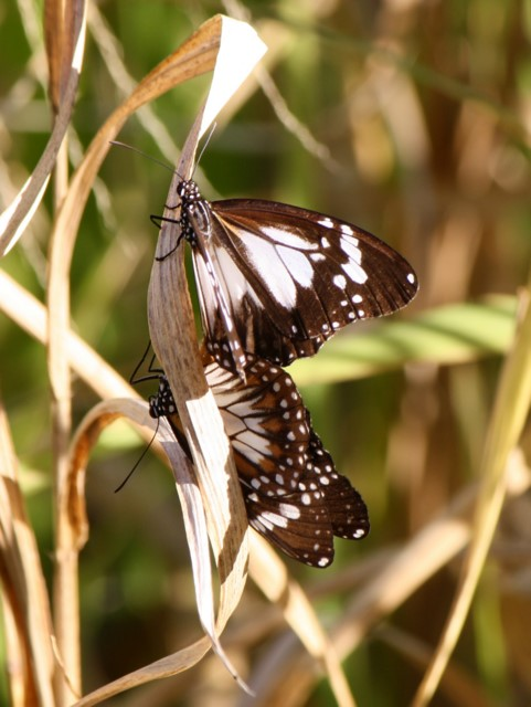 Mating pair of Swamp Tiger butterflies