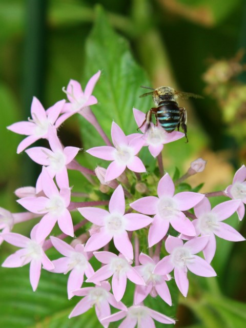 Blue-banded Bee(seen from behind) on pentas