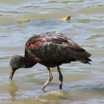 Glossy Ibis, knee-deep in the lagoon