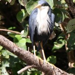 Dark grey Heron perched on a branch overlooking the lagoon