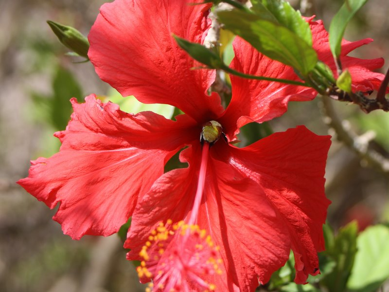 Bee in throat of red hibiscus
