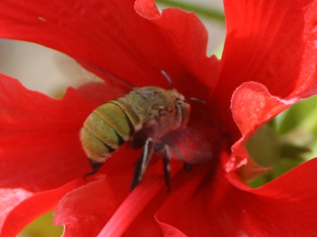 Furry bee emerging from hibiscus flower