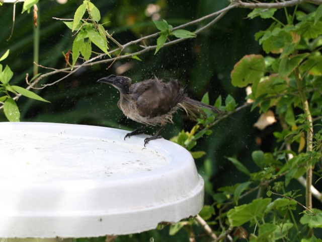 Helmeted Friarbird shaking itself dry