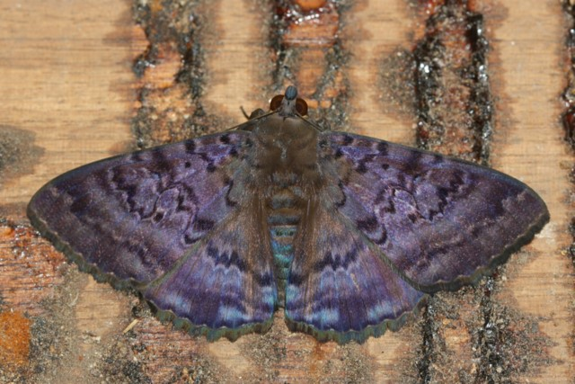 Large purple moth