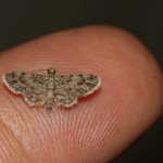 brown moth on fingertip