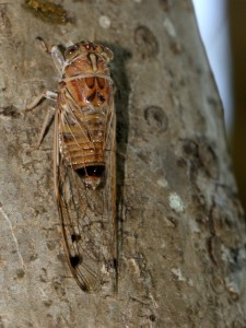 Brown Cicada on Frangipani trunk