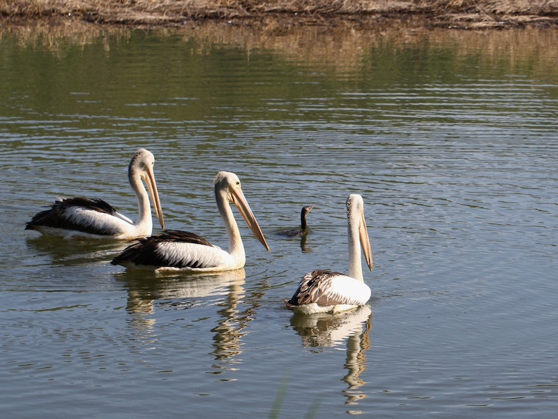 Pelicans and Cormorant