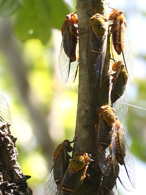 Cicadas clustered on a branch