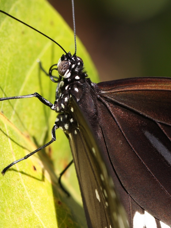 Close-up of black butterfly