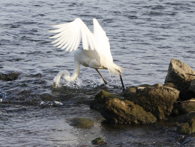 Great Egret, Ardea alba, fishing in Ross River