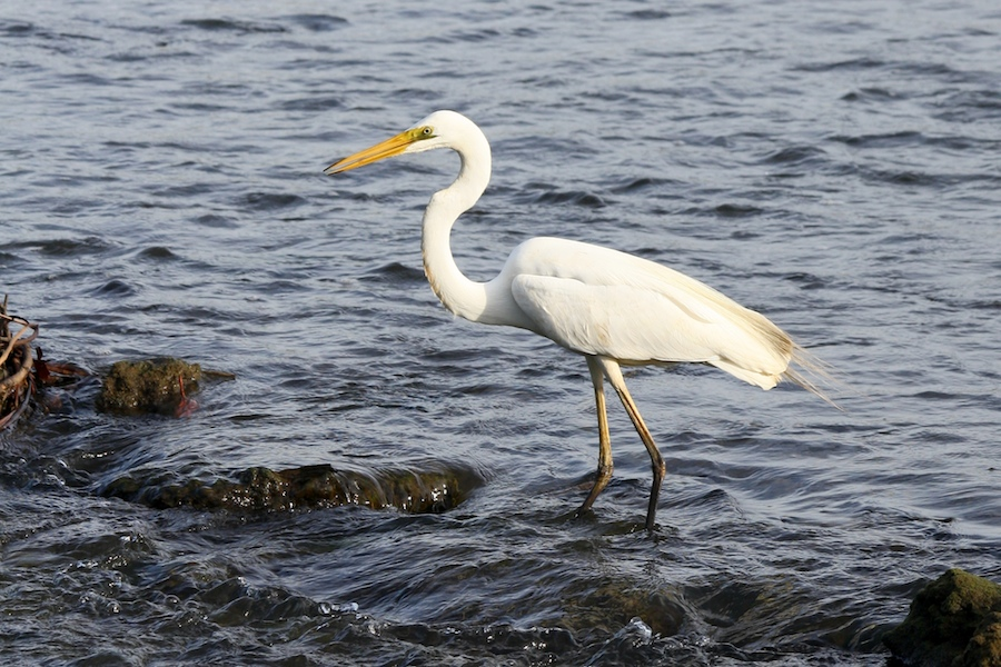 Great Egret, Ardea alba, in Ross River shallows