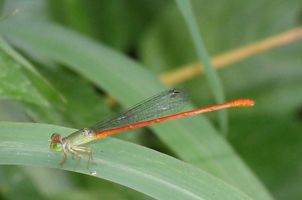 Orange-bodied damselfly, Ceriagrion aeruginosum, Redtail, male