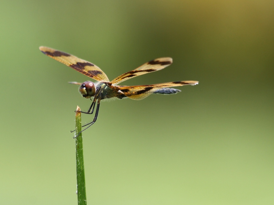 Graphic Flutterer, Rhyothemis graphiptera