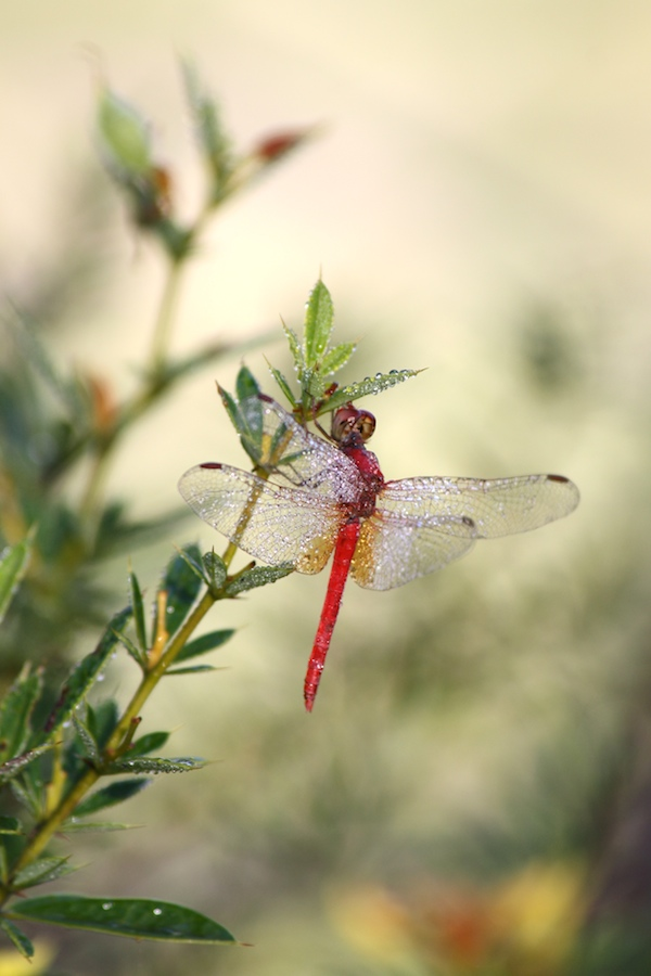 Dew-covered red dragonfly