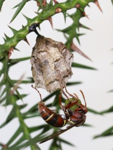 Paper wasp with ball of minced caterpillar