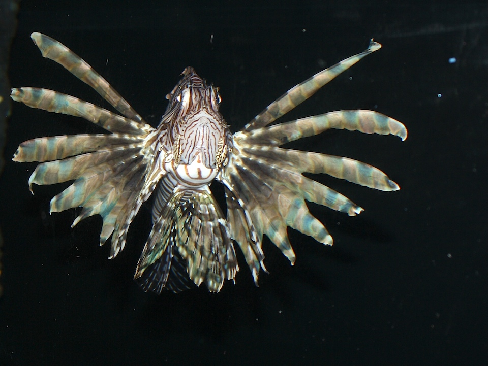 Front view of Lionfish with fins spread