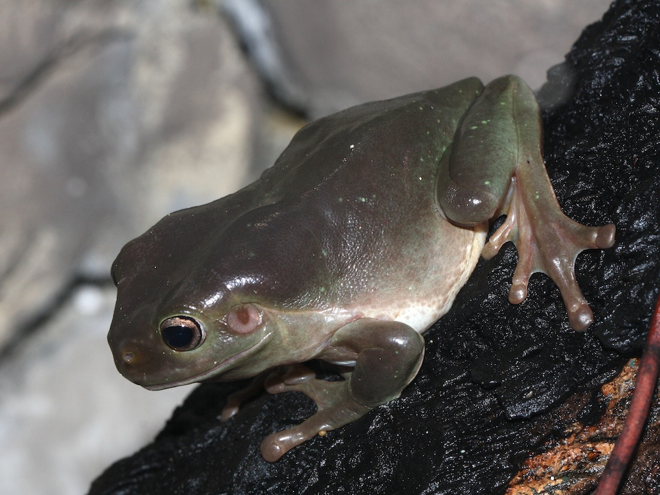 a very dark Green Tree Frog