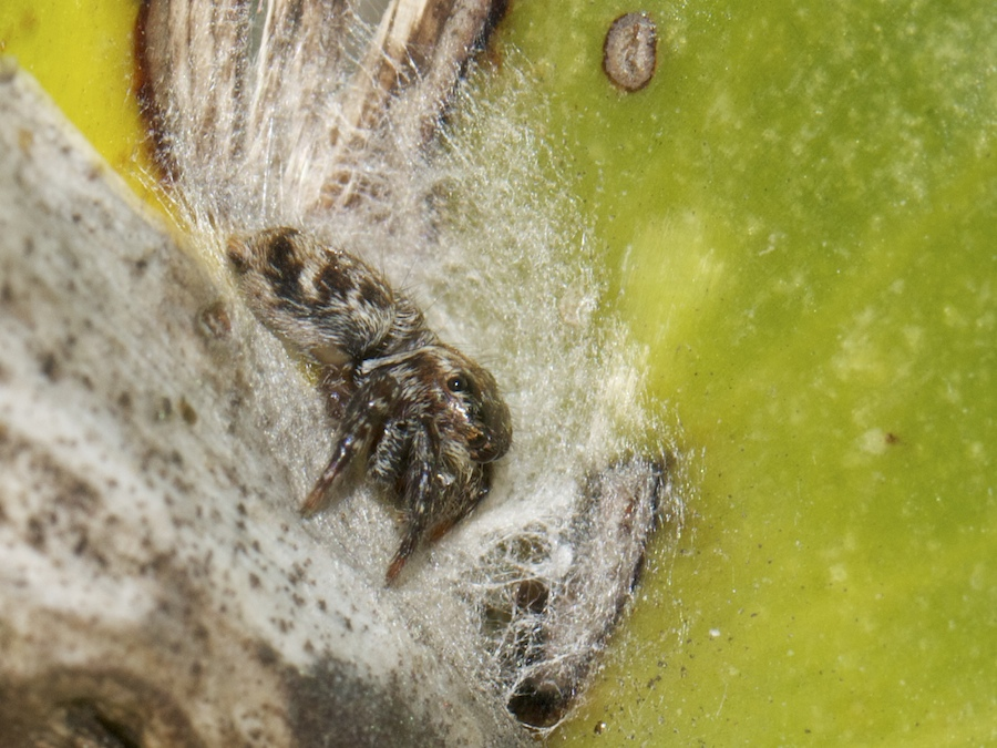 Jumping spider lying across mouth of retreat
