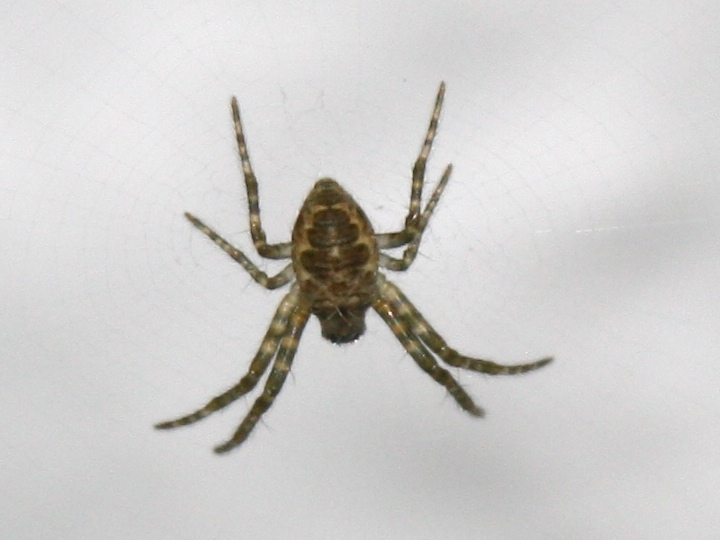 small grey spider