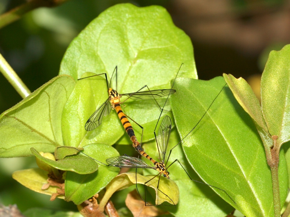 mating craneflies