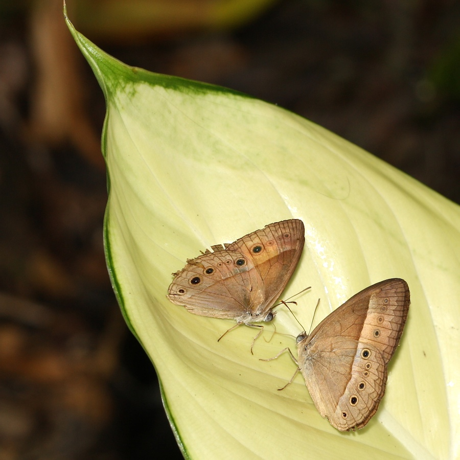 two brown butterflies on a leaf