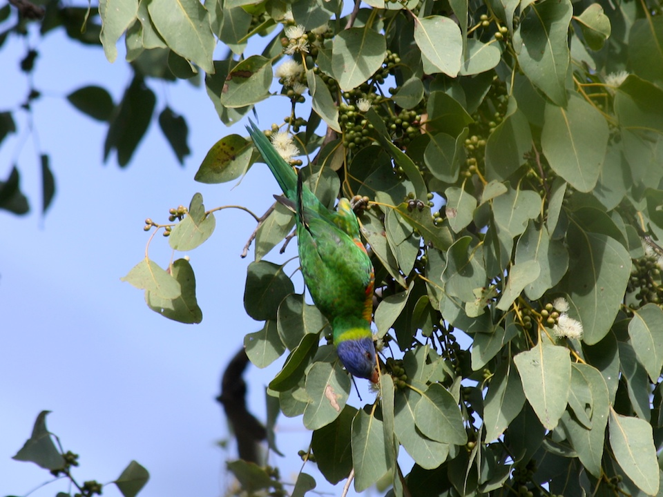 Rainbow Lorikeet in the Poplar Gum