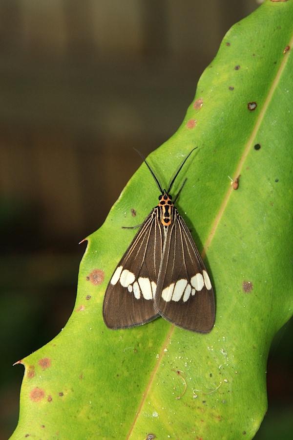 Dark brown moth with white pattern