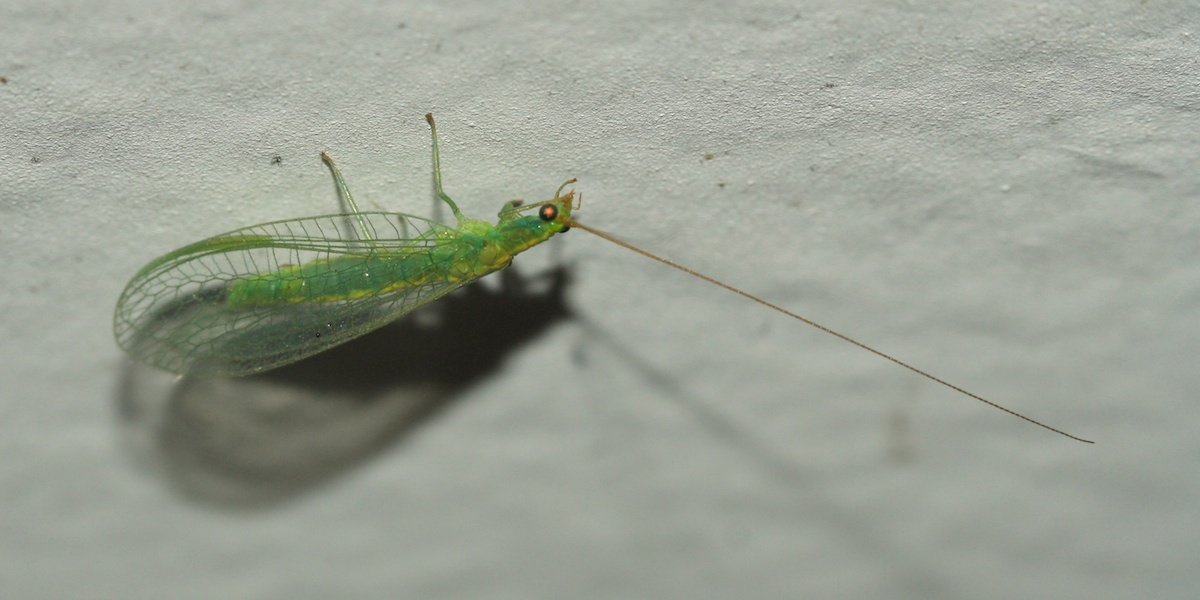 green lacewing. Insects attracted to house lights in Townsville  Queensland
