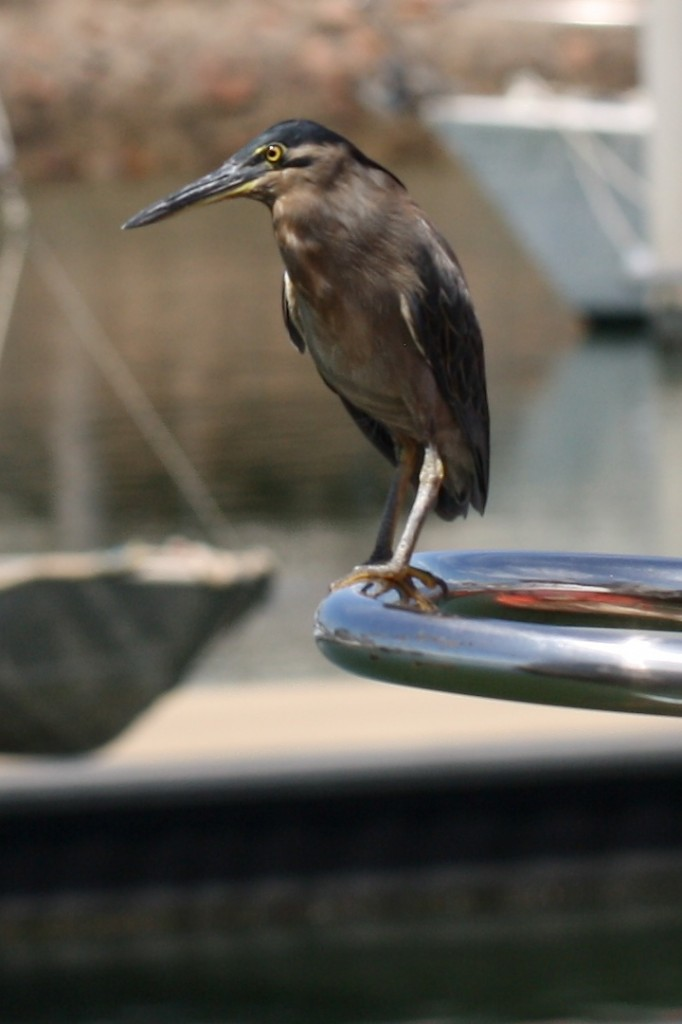 Heron on railing - closer view