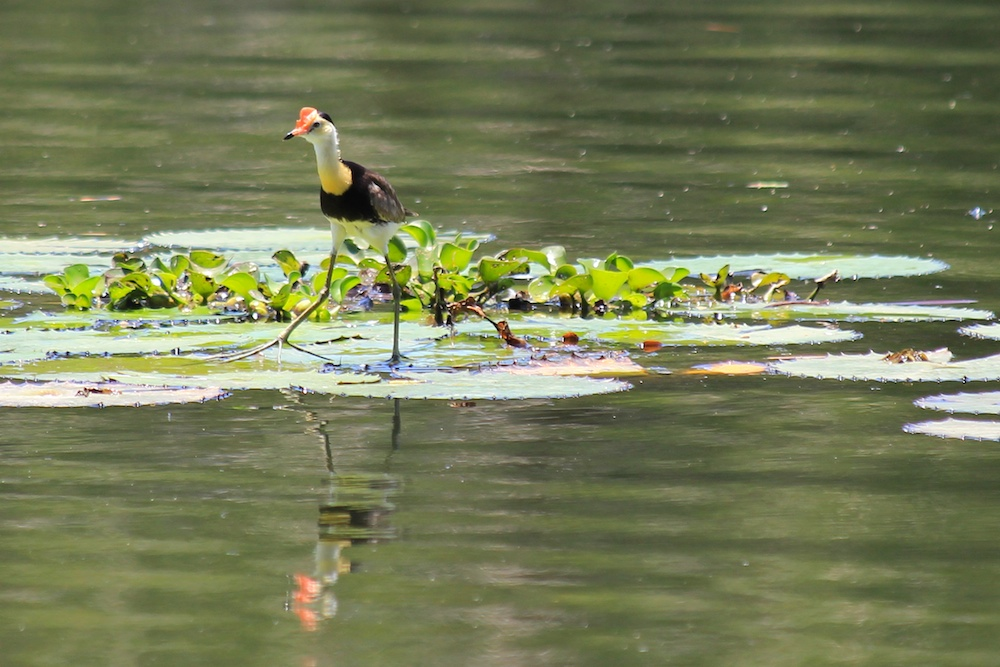 Bird on waterlily leaves