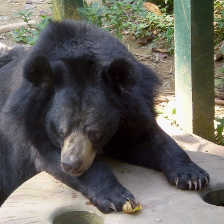 close-up of Asiatic bear