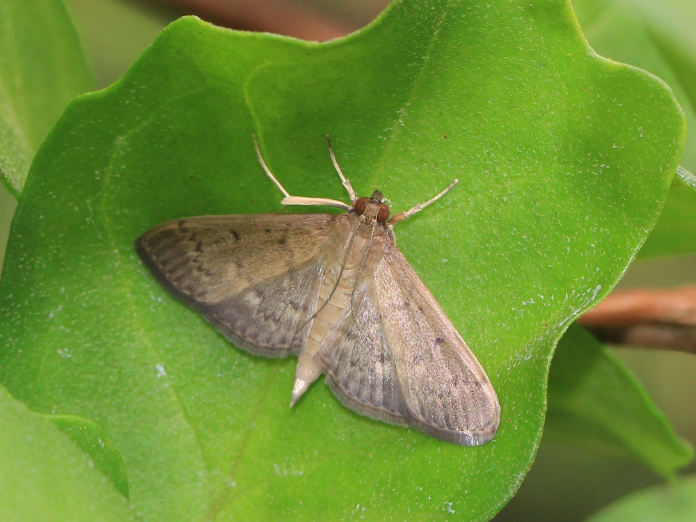 small fawn moth on leaf