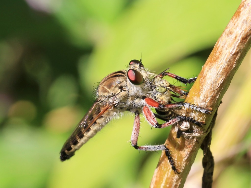 Robber fly and bee