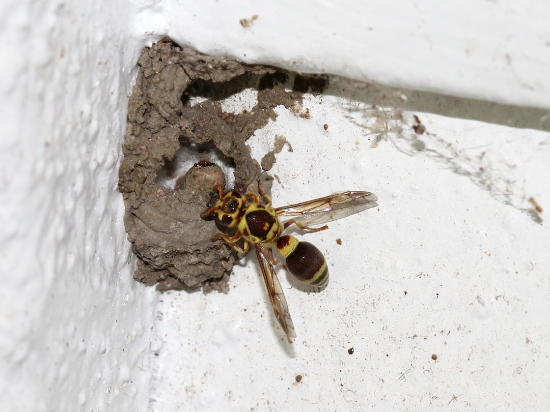 Wasp working at the nest