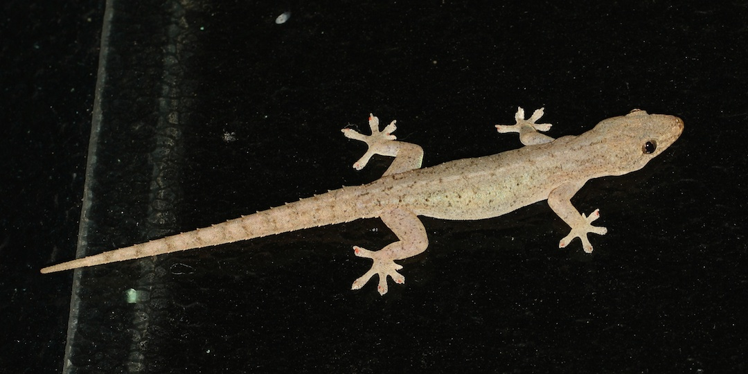 Asian gecko pale brown