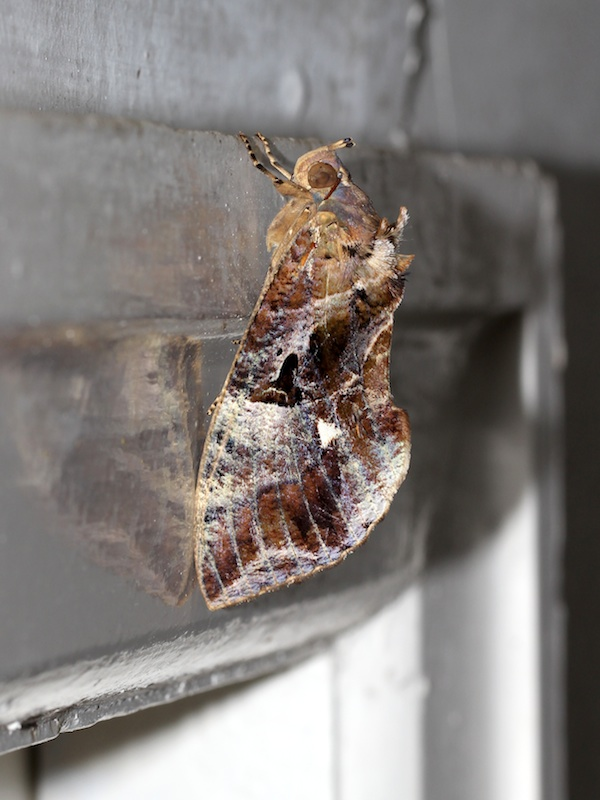 large brown moth