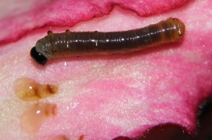darker caterpillar