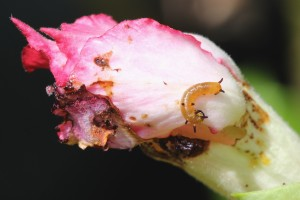 caterpillar on damaged bud