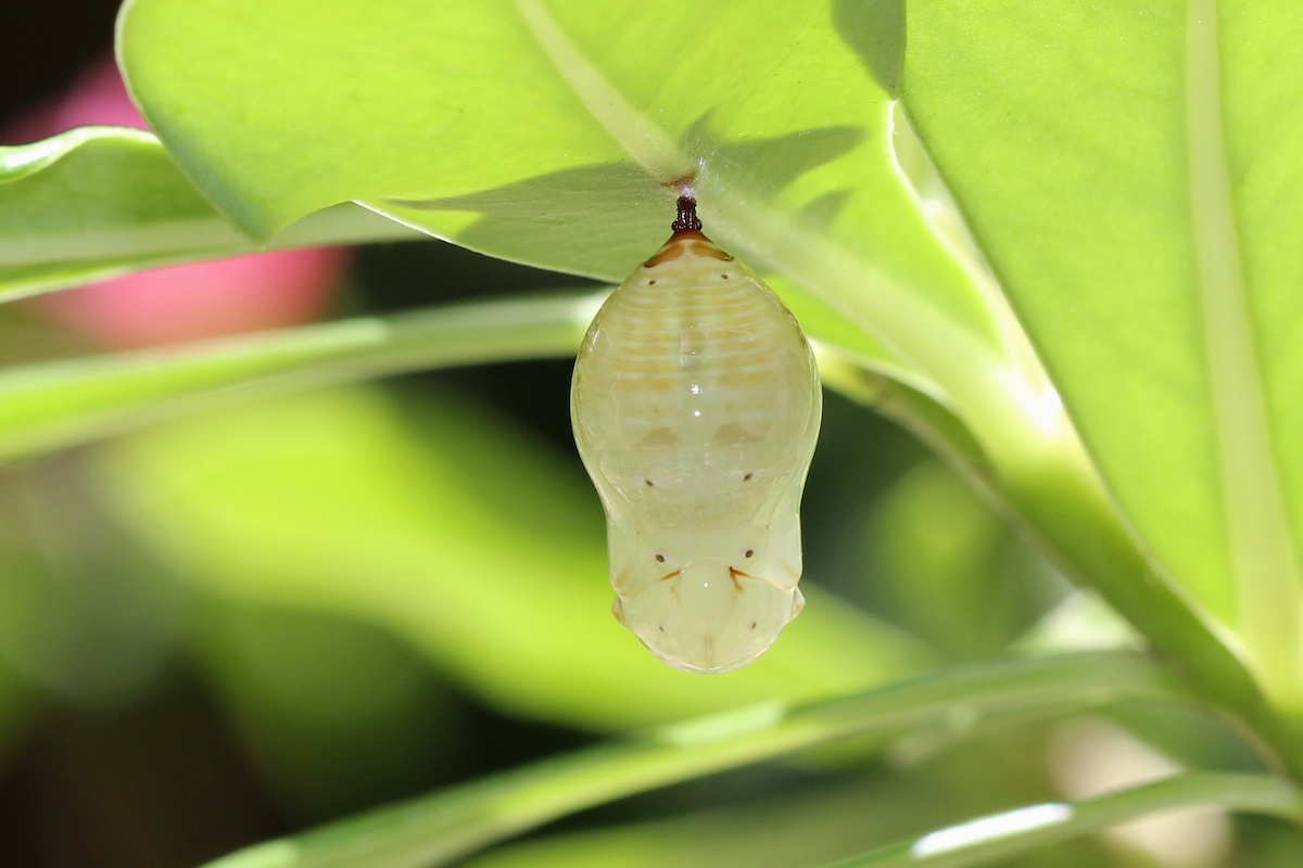 white chrysalis under leaf